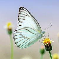 Especies de mariposa