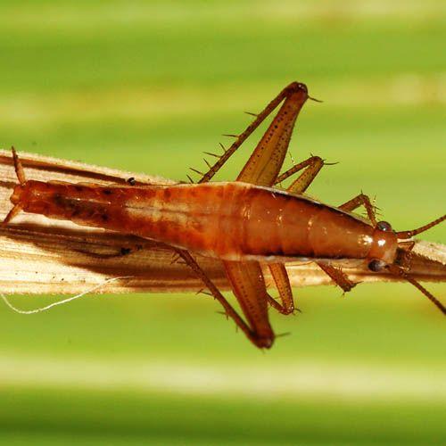 Cucaracha saltarina
