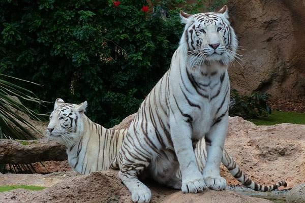 Tigre de bengala blanco