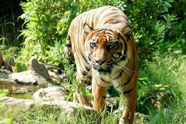 Subespecie de tigre de Sumatra