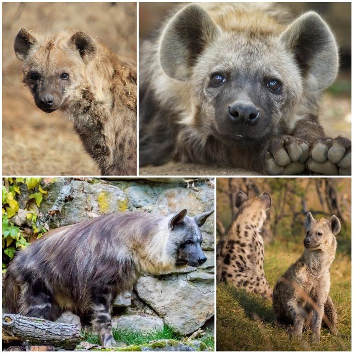 tipos de hienas