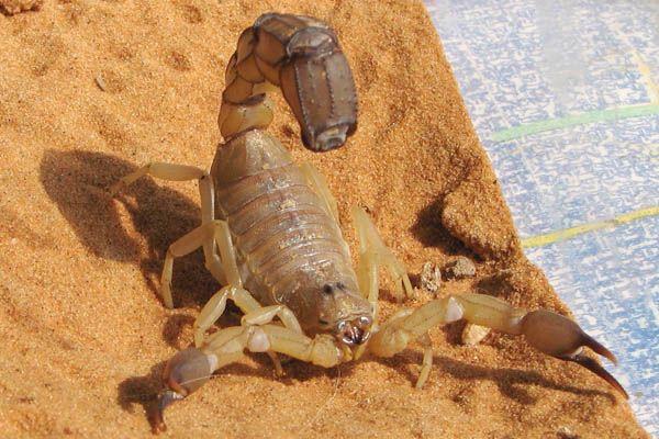 Especies de escorpión: Androctonus australis