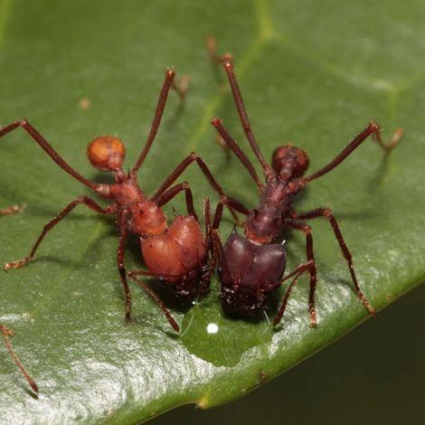 Especie Hormiga cortadora de hojas