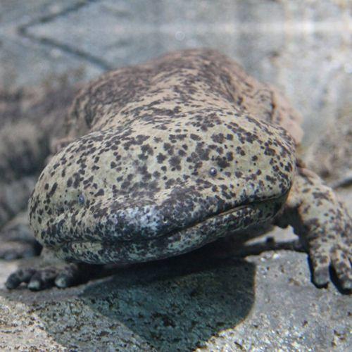Especie Salamandra china gigante