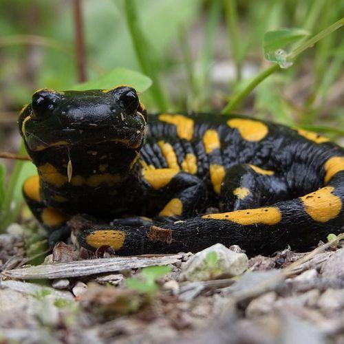 Especie Salamandra común