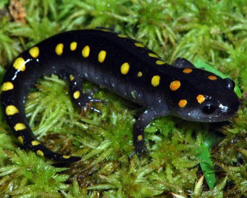 Especie Salamandra moteada