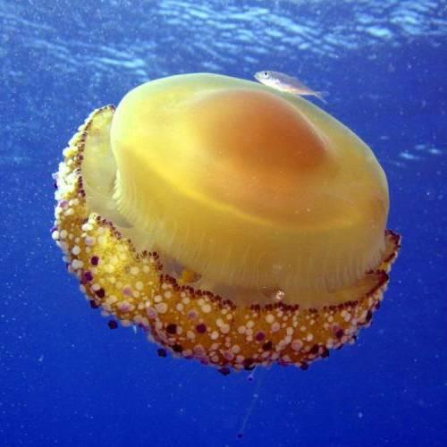 Especie aguacajada o medusa huevo frito
