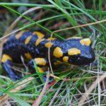 Especie de salamandra terrestre