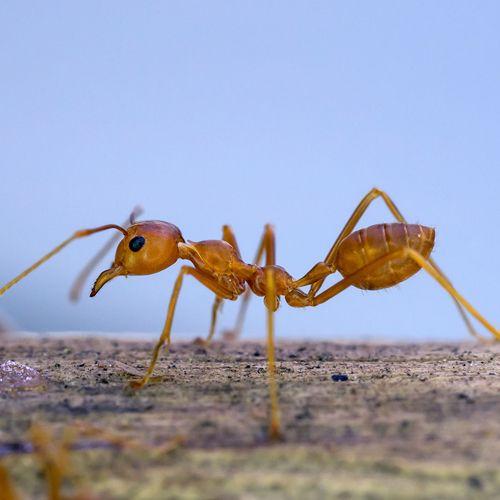 Especie hormiga ladrona