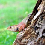 Otro tipo de salamandra