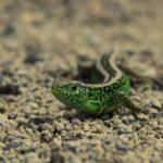 Salamandra en habitat rocoso