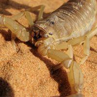 Especies de escorpión