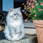 Otro adorable gato persa