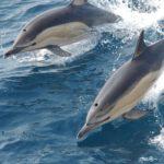 Pareja de delfines nadando