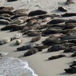 Poblaciones de leones marinos