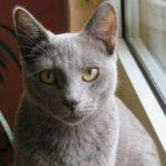 Raza gato azul ruso