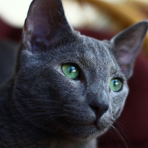 Gato Raza azul ruso