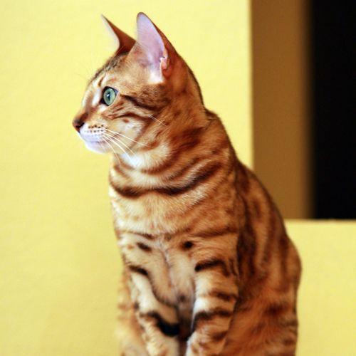 Gato Raza bengala