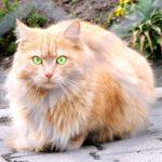 Tipo de gato persa