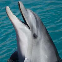 Delfín destacada
