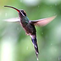 Colibri destacado