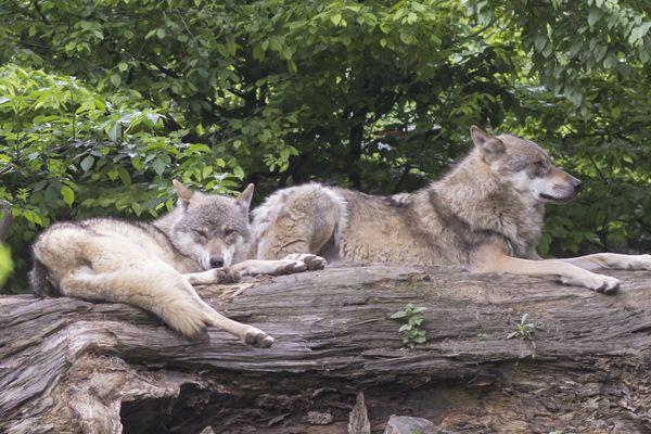 Tipos de lobos: Lobo europeo