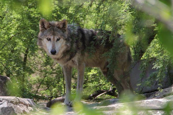 Tipo de lobo mexicano