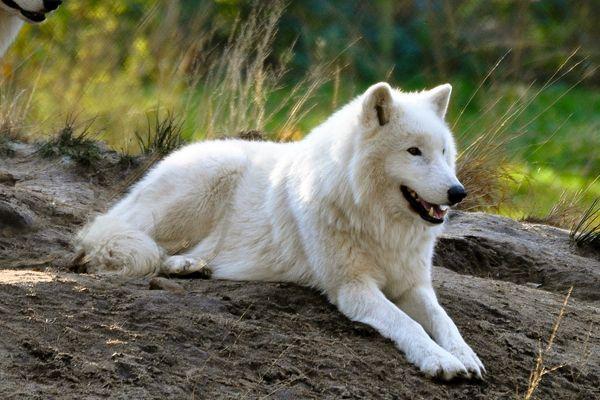 Especie de lobo ártico