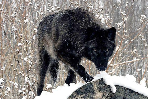 Lobo de Yukón