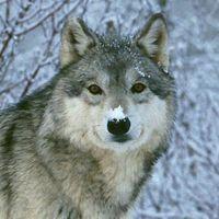 Especies de lobos