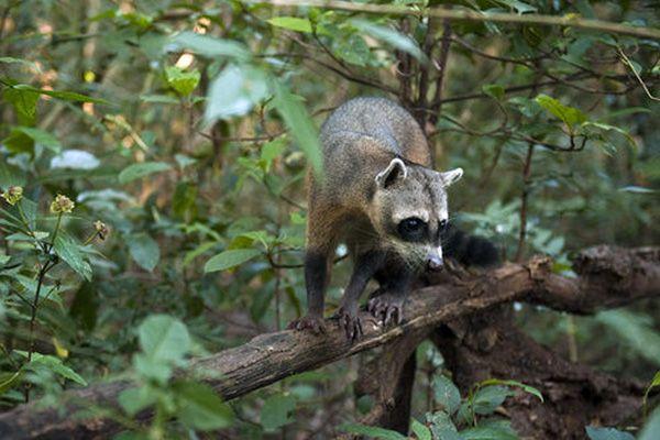 Especie de mapache aguará popé