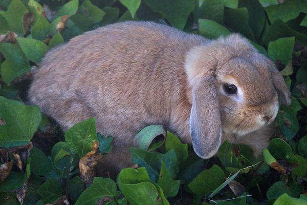 Especie de conejo belier enano