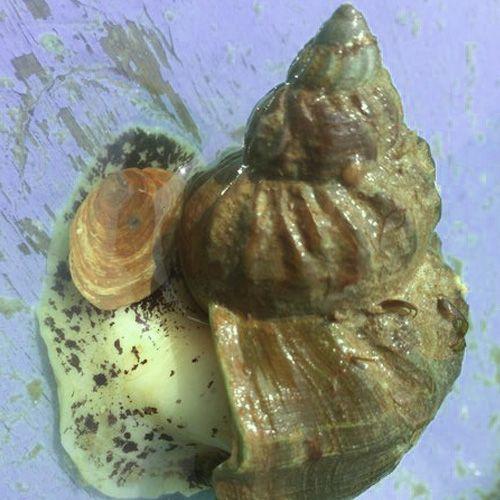 Especie de caracol Buccinum undatum