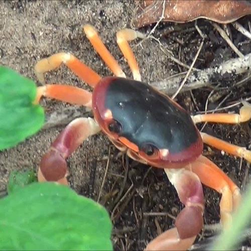 Especie Cangrejo rojo terrestre