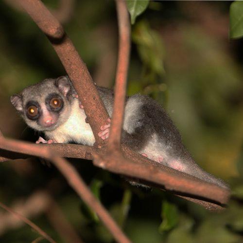 Especie de lémur: cheirogaleus medius