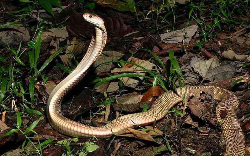 Especie Cobra filipina