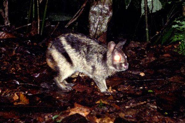 Conejo a rayas de Sumatra