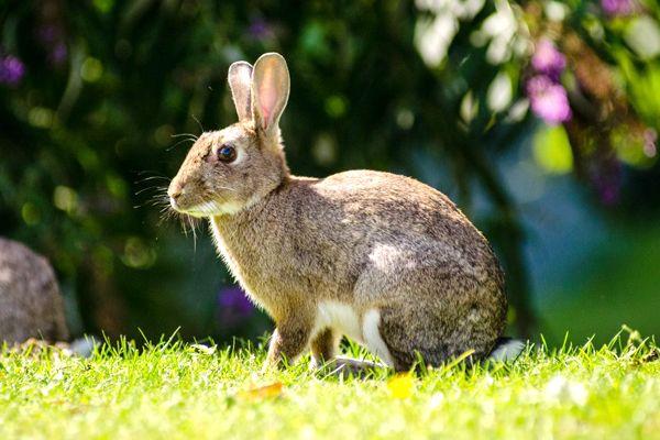 Tipo de conejo europeo