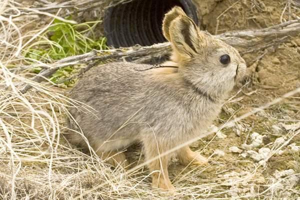 Especie de conejo pigmeo