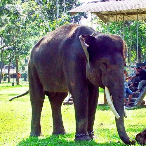Especie de elefante asiático. Elephas maximus sumatranus