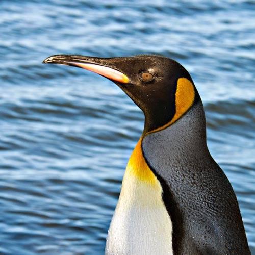 Especie Pingüino Rey