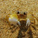 Especie de cangrejo amarilla