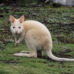 Especie de canguro blanco