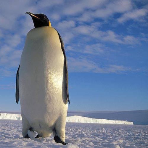 Especie pingüino emperador