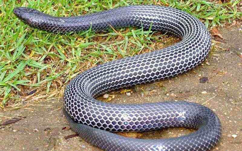 Especie serpiente lustrosa
