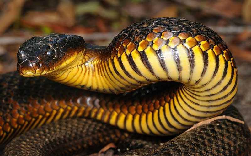 Especie serpiente tigre