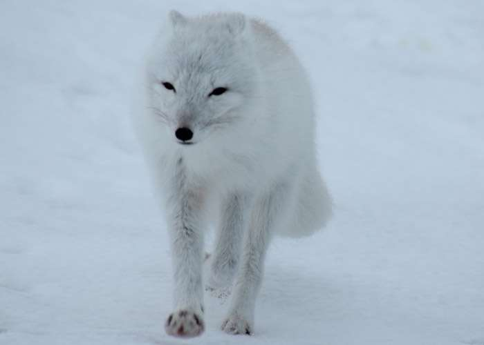 Especie zorro polar