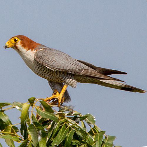 Falco chicquera