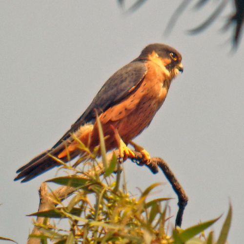 Especie de halcón: Falco cuvierii