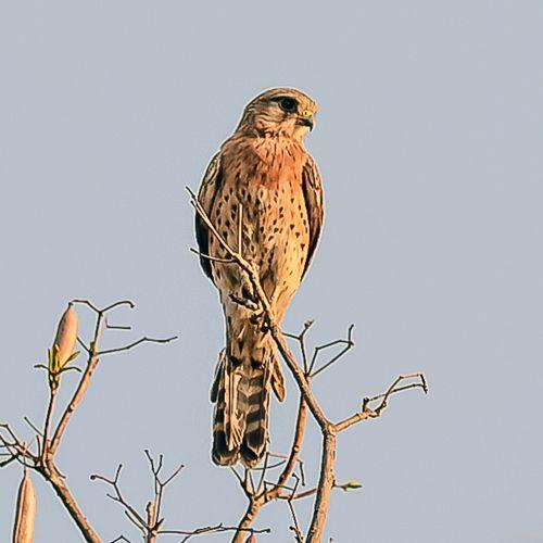 Falco newtoni